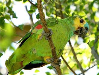 蓝顶亚马逊鹦鹉
