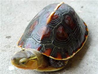 黃緣閉殼龜