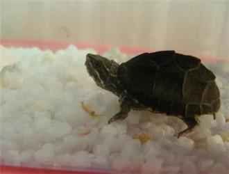 密西西比麝香龟