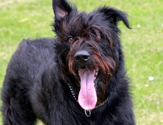法兰德斯畜牧犬