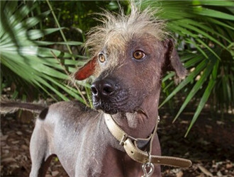 墨西哥无毛犬