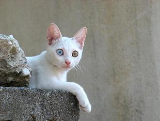 土耳其梵貓