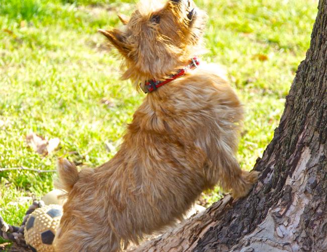 罗威拿犬_罗威士梗_罗威金毛德牧狗图片