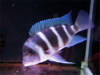 萨伊蓝六间鱼