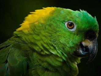 黄颈亚马逊鹦鹉