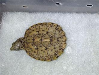 虎纹麝香龟
