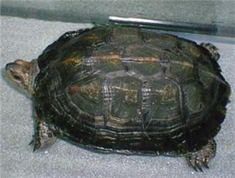 缅甸黑山龟