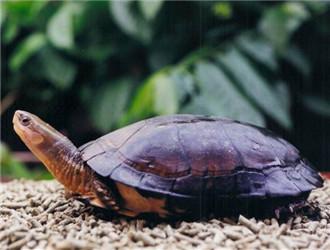 周氏闭壳龟