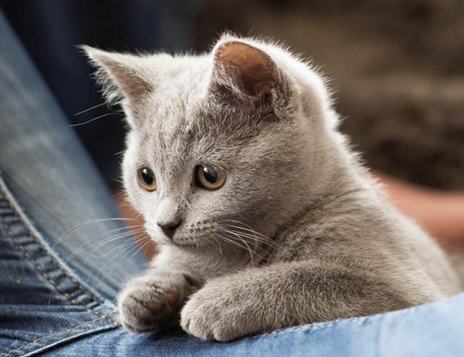 卡尔特猫(详情介绍) 相信在养任何宠物的时候大多主人最头疼的问题就是自己的宠物吃什么样的猫粮、狗粮好。哪些食物可以吃哪些食物不能吃。这些都是主人关注的问题,下面就来说说卡尔特猫猫吃什么样的食物最好,如何搭配有营养的猫粮。 一、卡尔特猫的喂食 1、猫都是食肉动物,非得有肉吃,才能过日子。但这绝不意味着猫不喜欢或不需要吃些水果或蔬菜。有几种野生猫科动物喜欢偶尔吃些水果或美味的素食,作为肉食的补充。例如:狮子和老虎在杀死它们的牺牲品以后,常常先直接掏开胃,狼吞虎咽的喝掉其中正在消化的素食汤汁,作为帮助消化的酵