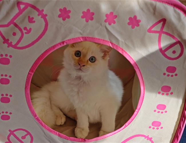 重点色短毛猫多少钱一只图片