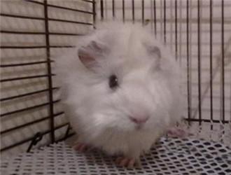 白色黑眼天竺鼠