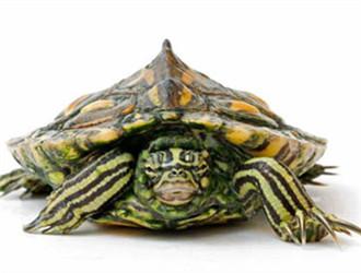 黄斑地图龟