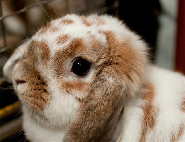 由于天生的性情温驯,加上可爱的超小体型,荷兰垂耳兔是很适合小朋友的