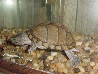 刀背麝香龟