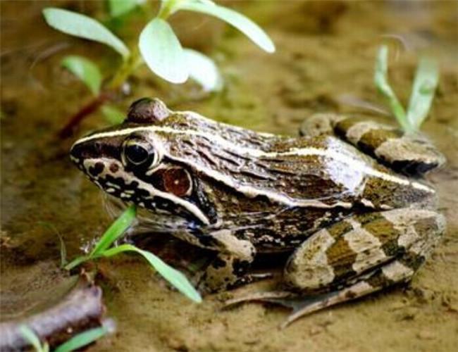 蛙的外形结构图