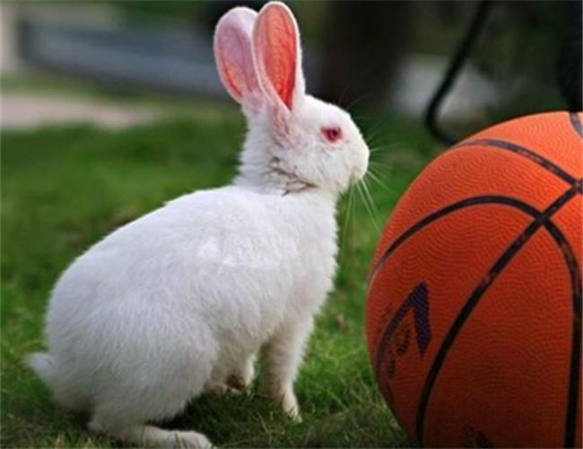 佛州大白兔