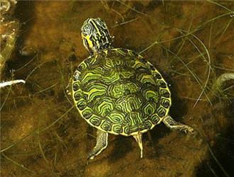 佛州甜甜圈龟