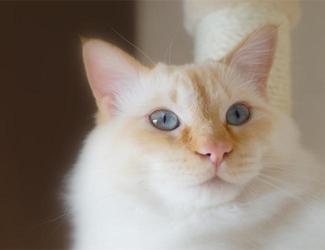 重点色短毛猫价格图片