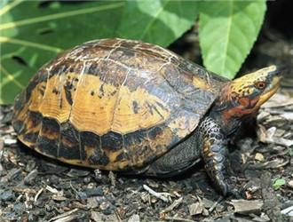 黄额闭壳龟