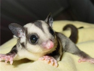 澳洲蜜袋鼯