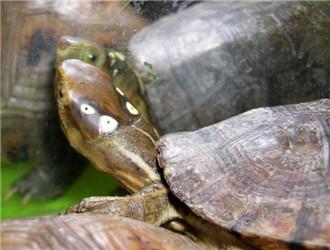 四眼斑水龟