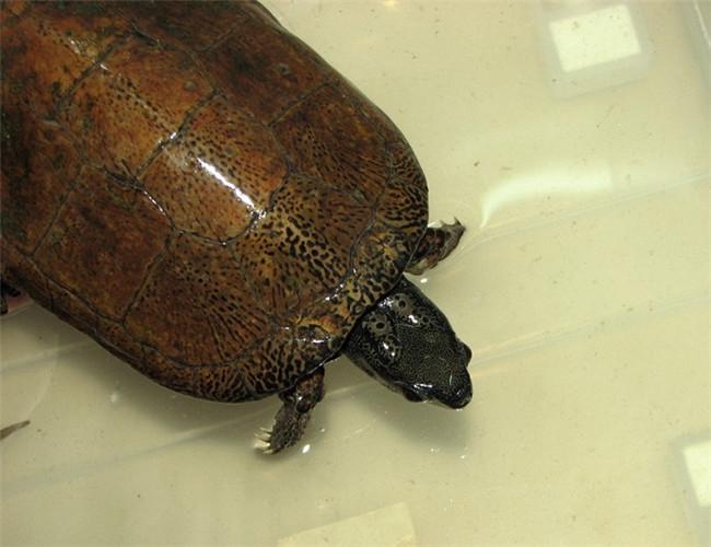 拟眼斑水龟是我国特有的品种,一些研究人士认为这不应该是一个新品种,而且一种比较特别的杂种龟,但是并没有得到学术界的认可,所以我们姑且认为这是一个特别的品种。 中文学名:拟眼斑水龟 二名法:Sacalia pseudocellata 英文名:chinese false-eyed turtle 界:动物界 门:脊索动物门 纲:爬行纲 目:龟鳖目 科:龟科 属:眼斑龟属 种:拟眼斑水龟 分布:在中国大陆,分布于海南等地。 生活习性:喜欢生活在水流缓慢、水底多为砂石及水质清澈的水域。偶尔进入农垦地区,夏季会在稻田