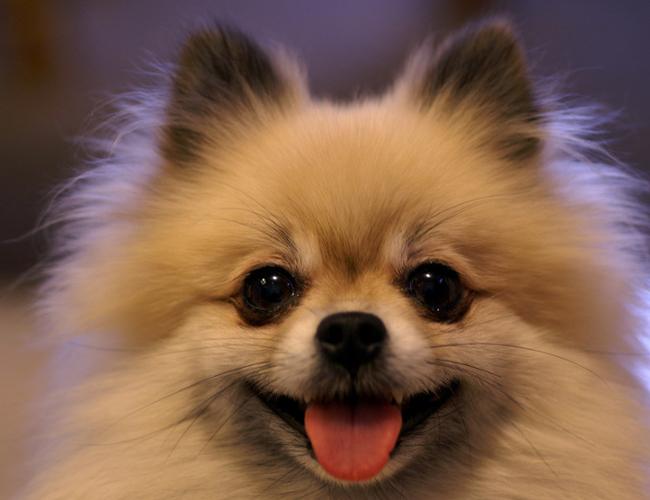 纯种博美犬价格图片_博美犬价格_图片_纯种博美犬幼犬多少钱一只_博美犬好养吗-波奇网