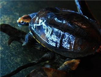 红头蛇颈龟