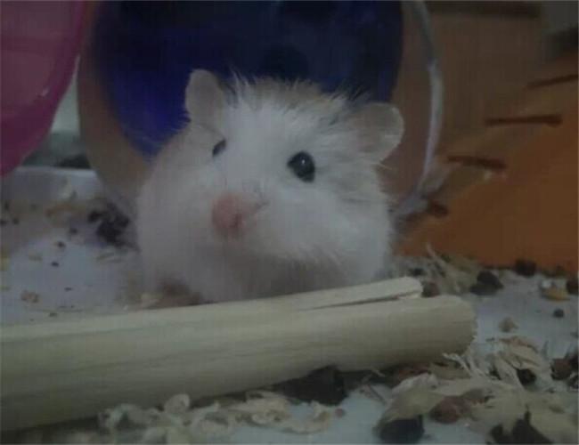 仓鼠湿尾症状-波奇词条照片