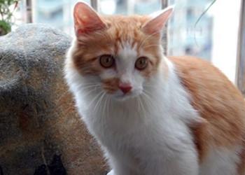 土耳其安哥拉貓