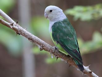 马达加斯加爱情鸟