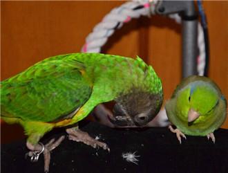 塞内加尔鹦鹉