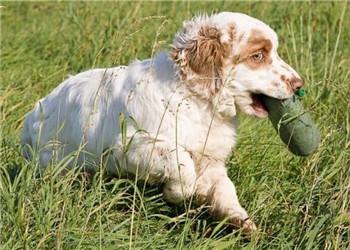 克伦伯猎鹬犬