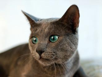 俄罗斯蓝猫