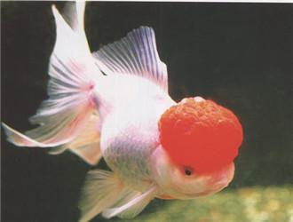 鶴頂紅金魚
