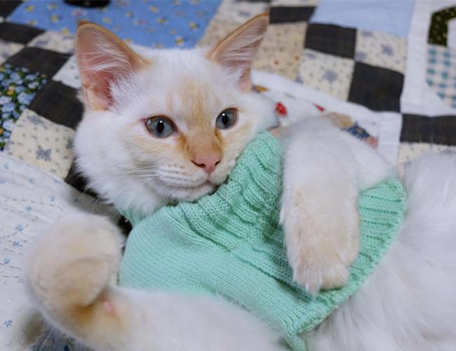 重点色短毛猫和暹罗图片