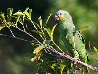 橙翅亚马逊鹦鹉