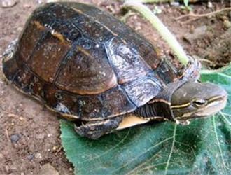 云南闭壳龟