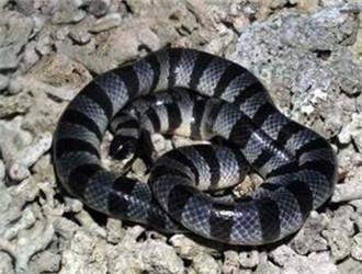 贝尔彻海蛇