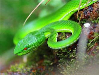西藏竹叶青蛇