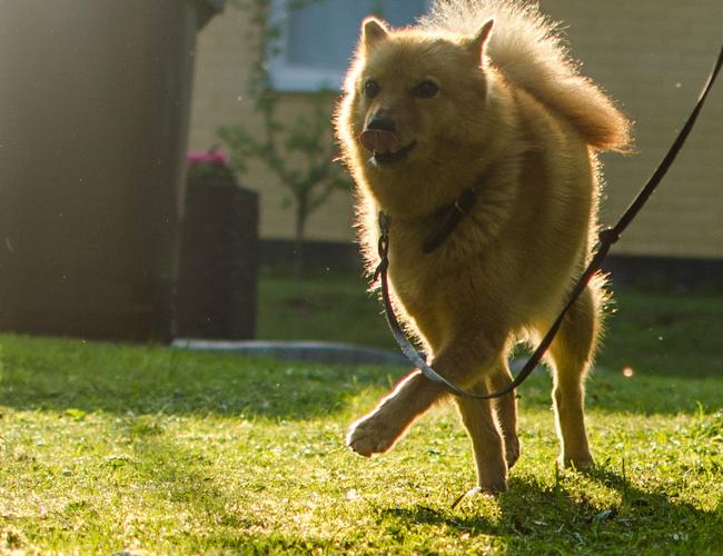 芬兰拉普猎犬多少钱_芬兰猎犬_芬兰拉普猎犬