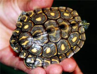 环纹地图龟