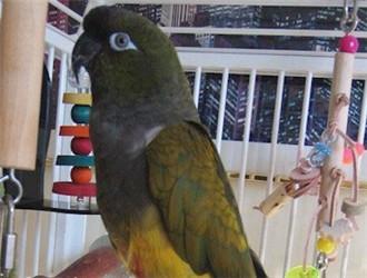 巴塔哥尼亚锥尾鹦鹉