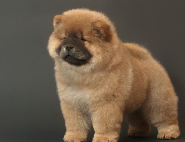 松狮犬怎么看纯种_松狮价格_图片_纯种松狮幼犬多少钱一只_松狮好养吗-波奇网