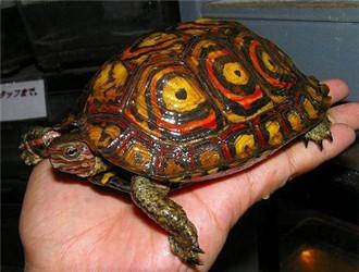 哥斯达黎加木纹龟