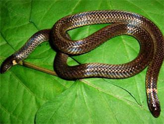 钝尾两头蛇