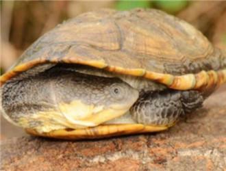 巨头蛇颈龟