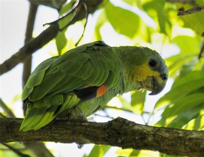 橙翅亚马逊鹦鹉(详情介绍)   对于喜欢亚马逊鹦鹉的鸟友们来说,橙翅亚马逊鹦鹉属于比较适合没有饲养经验的新手朋友饲养,他们的售价不高,并且外形非常讨人喜欢,饲养起来也比较简单。   橙翅青帽亚马逊鹦鹉模仿人类语言的能力很强, 不过有时会发出令人难以忍受的尖叫声 它们是迷人的宠物,若是手养鸟学话能力更是犟,聪明, 喜欢玩。   橙翅亚马逊鹦鹉主要栖息于森林、红树林、沼泽、开阔的地区、潮湿的热带地区650米的地;偶尔会到比较干燥的地区、有着高大树木的公园以及村庄等地。它们通常都是成对或是小群体活动,有时候会
