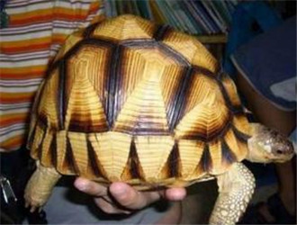安哥洛卡陆龟