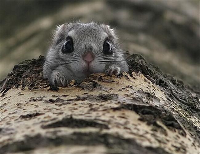 日本小鼯鼠